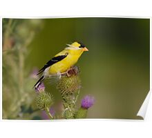 American Goldfinch - Ontario, Canada Poster