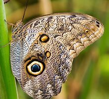 Owl Butterfly by M.S. Photography/Art