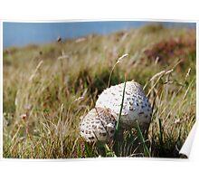 Shaggy Parasol Mushrooms Poster