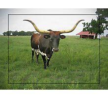The Texas Long Horn Bull  Photographic Print