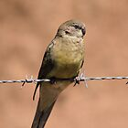Mrs Red-rumped Parrot by mosaicavenues