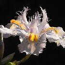 iris wattii by Floralynne