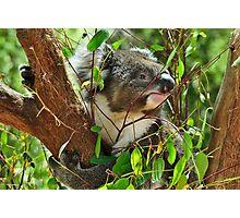 Koala at Healesville Photographic Print