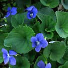 Viola adunca - Early Blue Violet by jules572
