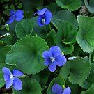 Viola adunca - Early Blue Violet by jules572