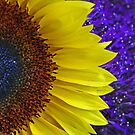 Sunflower morning- sunlight reaching the coffee table vase by mypic