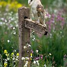 Barn owl at rest by AngiNelson
