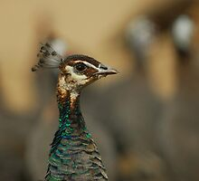 peacock and her friend by davvi