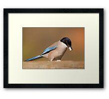 Azure-winged Magpie (Cyanopica cyana) Framed Print