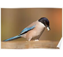 Azure-winged Magpie (Cyanopica cyana) Poster