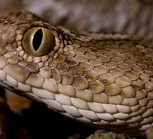 Saw scaled viper headshot by Angi Wallace
