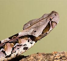Gaboon viper by AngiNelson
