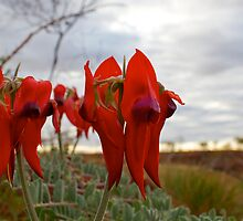 View over Desert Sturt peas by Michelle Jonker