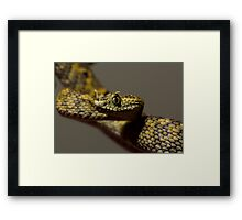 Horned Bush viper Framed Print