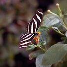 Heliconius Charithonius (Zebra Longwing) Butterfly by Stormygirl