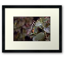 Heliconius Charithonius (Zebra Longwing) Butterfly Framed Print
