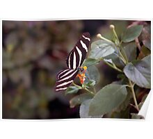 Heliconius Charithonius (Zebra Longwing) Butterfly Poster