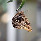 Caligo Atreus (Queen Owl) Butterfly by Stormygirl