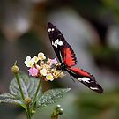 Parides Iphidamus (Transandean Cattleheart) Butterfly by Stormygirl