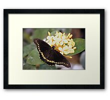 Papilio Polyxenes (Black Swallow Tail) Butterfly Framed Print