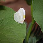 Cloudless Sulphur Butterfly by Stormygirl