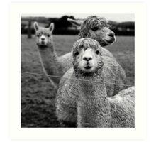 Curious Alpacas Art Print