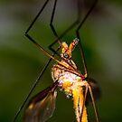 The Vamp - Crane Fly by john  Lenagan