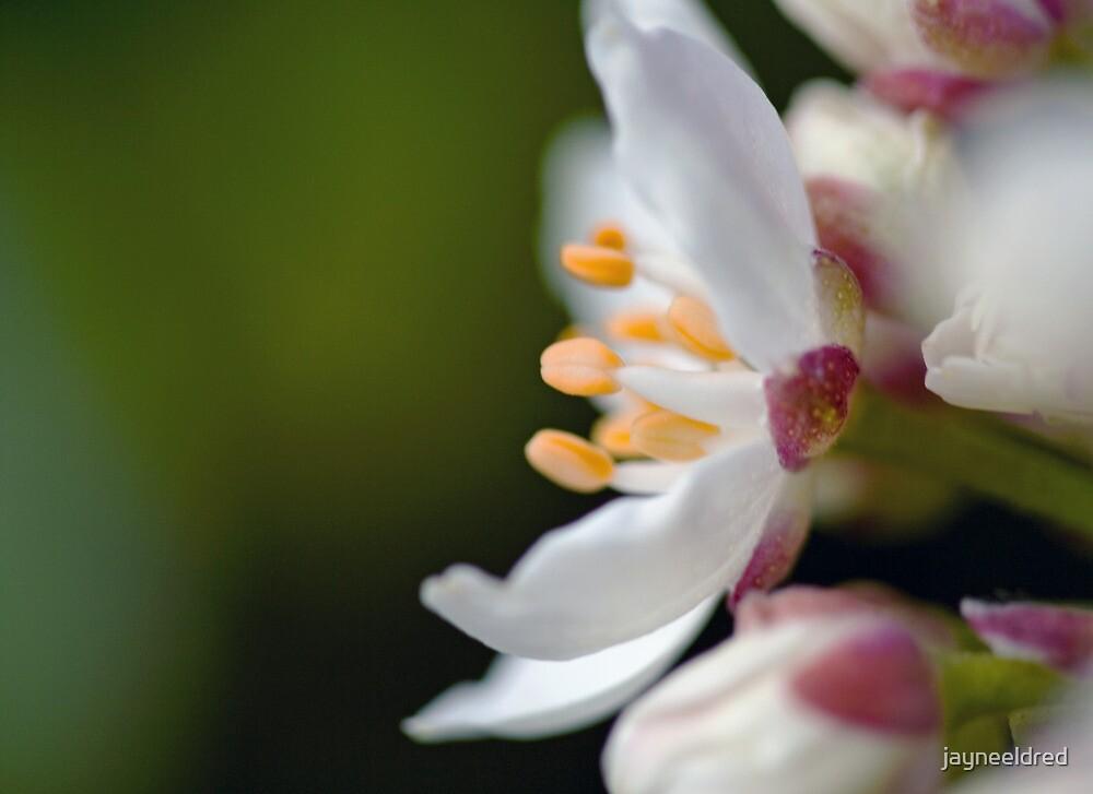 Profiled Lemon Flower by jayneeldred