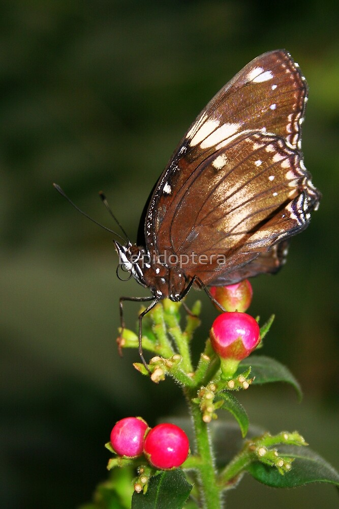 Great Eggfly - Hypolimnas bolina by Lepidoptera