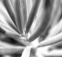 Blue chalk sticks succulent  by Adriano Carrideo