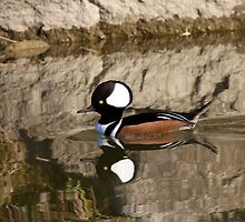 Hooded Merganser by withacanon