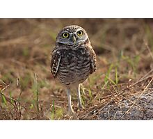 the little owl Photographic Print