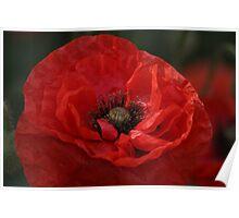 Poppy Day Poster