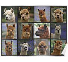Sunny Brae Cottage Alpacas. Poster