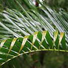 Golden Palm Leaves after the Rain by aussiebushstick