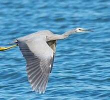 White Faced Heron by TGrowden