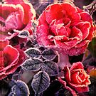 Christmas Roses  by ©The Creative  Minds