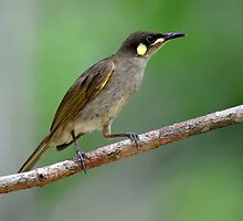 Yellow-spotted Honeyeater taken at the Lockerbie rainforest scrub - Cape York by Alwyn Simple