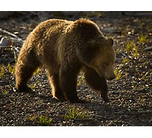 Grizzly Bear-Signed-#4435 Photographic Print