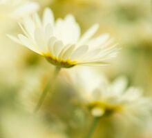 Anthemis Spirit by Sarah-fiona Helme