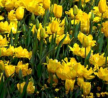 Beautiful yellow tulips by Fran Woods