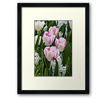 Beautiful pink and white tulips Framed Print
