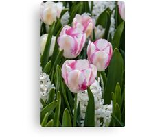 Beautiful pink and white tulips Canvas Print
