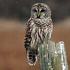 Barred Owl  2 - Ontario Canada by Raymond J Barlow