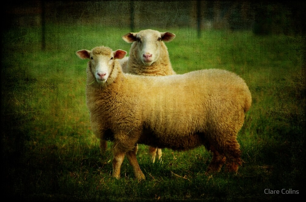 sheepish love by Clare Colins