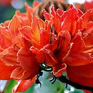African Tulip by ZIGSPHOTOGRAPHY