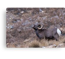 Ram Tough Canvas Print