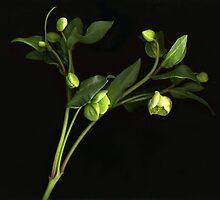 Green Helleborus by Barbara Wyeth