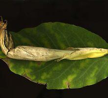 Datura on Leaf by Barbara Wyeth