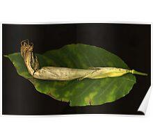 Datura on Leaf Poster